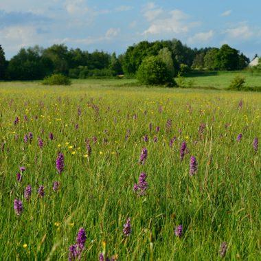 Les orchidées des prairies du site naturel des Varinnes à Saint-Martin-d'Abbat