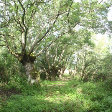 Les trognes des Îles de Noyers, en vallée du Cher
